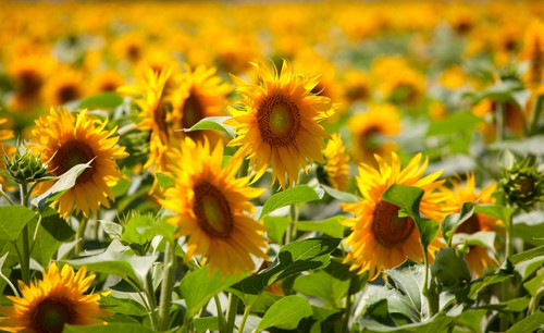 August weekend events sunflowers DP